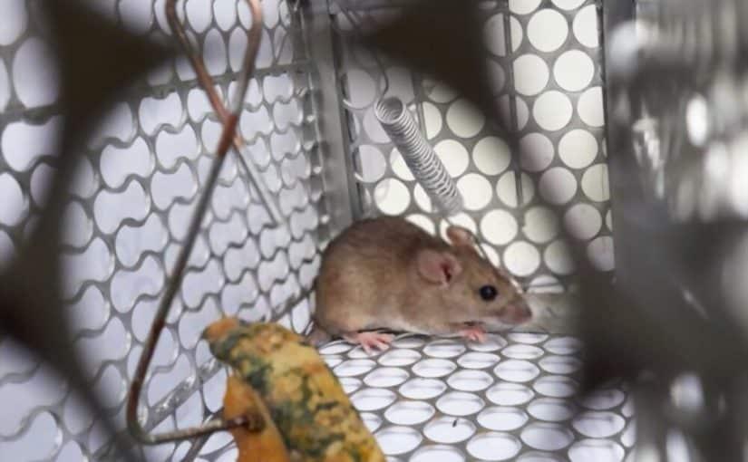 Quelques astuces pour fabriquer un piège à souris fait-maison